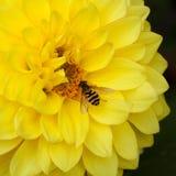 Abeja en una flor de la dalia Imagen de archivo