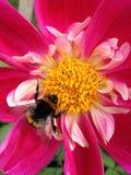 Abeja en una flor de la dalia Foto de archivo
