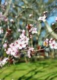 Abeja en una flor de la flor de cerezo Imagenes de archivo