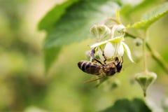 Abeja en una flor de la frambuesa Foto de archivo libre de regalías