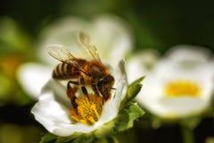 Abeja en una flor de la fresa que recoge el polen Imágenes de archivo libres de regalías