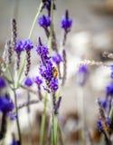 Abeja en una flor de la lavanda, fondo natural brillante hermoso Foto de archivo libre de regalías
