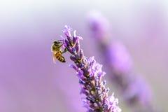Abeja en una flor de la lavanda, Provence de la miel Imagen de archivo