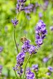 Abeja en una flor de la lavanda en un jardín del verano Foto de archivo