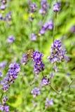 Abeja en una flor de la lavanda en un jardín del verano, primer Fotografía de archivo