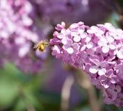 Abeja en una flor de la lila Fotos de archivo