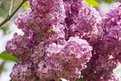Abeja en una flor de la lila Imagen de archivo libre de regalías