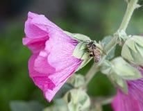 Abeja en una flor de la malvarrosa Fotos de archivo