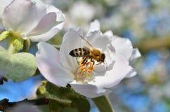Abeja en una flor de la manzana Imagen de archivo
