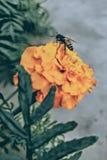 Abeja en una flor de la maravilla Fotos de archivo libres de regalías