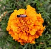 Abeja en una flor de la maravilla Foto de archivo