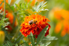 Abeja en una flor de la maravilla Foto de archivo libre de regalías