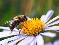 Abeja en una flor de la margarita Imagenes de archivo