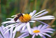 Abeja en una flor de la margarita Imágenes de archivo libres de regalías