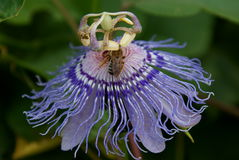 Abeja en una flor de la pasión Imagen de archivo