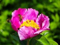 Abeja en una flor de la peonía de la montaña Imagenes de archivo