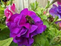 Abeja en una flor de la petunia Imagen de archivo libre de regalías
