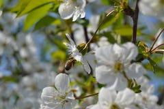 Abeja en una flor de la primavera Fotografía de archivo