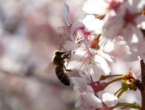 Abeja en una flor de la primavera de la cereza Fotos de archivo libres de regalías