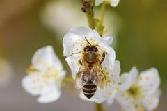 Abeja en una flor de la primavera que recoge el polen Imagen de archivo libre de regalías
