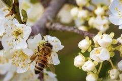 Abeja en una flor de la primavera que recoge el polen Foto de archivo libre de regalías