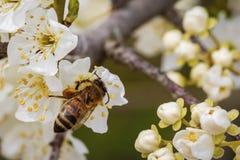 Abeja en una flor de la primavera que recoge el polen Imágenes de archivo libres de regalías