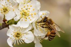 Abeja en una flor de la primavera que recoge el polen Fotos de archivo