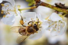 Abeja en una flor de la primavera que recoge el polen Fotos de archivo libres de regalías