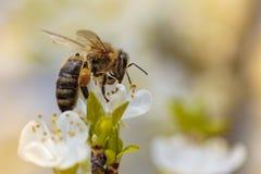 Abeja en una flor de la primavera que recoge el polen Imagen de archivo