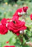 Abeja en una flor de la rosa Imagen de archivo libre de regalías