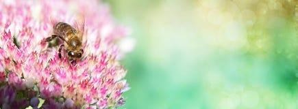 Abeja en una flor de la uva de gato de Sedum en flor Abeja en Imágenes de archivo libres de regalías