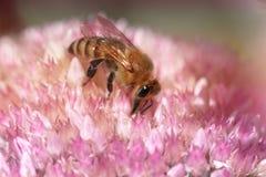 Abeja en una flor de la uva de gato de Sedum en flor Abeja en Fotografía de archivo