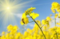 Abeja en una flor de la violación contra un fondo del cielo azul con cl Fotos de archivo libres de regalías