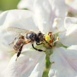 Abeja en una flor de las flores de cerezo blancas Imagen de archivo libre de regalías