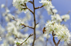Abeja en una flor de las flores de cerezo blancas Fotografía de archivo libre de regalías