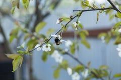 Abeja en una flor de las flores de cerezo blancas Fotos de archivo libres de regalías