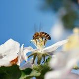 Abeja en una flor de las flores de cerezo blancas Foto de archivo