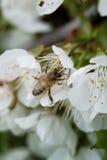 Abeja en una flor de las flores de cerezo blancas Imágenes de archivo libres de regalías