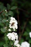Abeja en una flor de las flores de cerezo blancas Imagenes de archivo