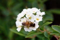 Abeja en una flor de las flores de cerezo blancas Fotos de archivo