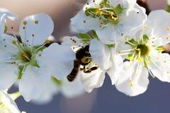 Abeja en una flor de las flores de cerezo blancas Fotografía de archivo