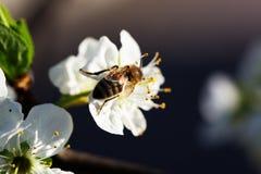 Abeja en una flor de las flores de cerezo blancas Imagen de archivo