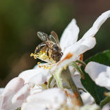 Abeja en una flor de las flores de cerezo blancas en primavera Imágenes de archivo libres de regalías