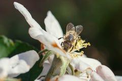 Abeja en una flor de las flores de cerezo blancas en primavera Fotografía de archivo