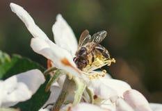 Abeja en una flor de las flores de cerezo blancas en primavera Fotos de archivo libres de regalías