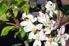 Abeja en una flor de las flores de cerezo blancas en primavera Imagen de archivo libre de regalías