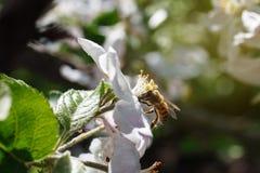 Abeja en una flor de las flores de cerezo blancas en primavera Imagenes de archivo