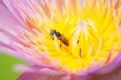 Abeja en una flor de loto Imagen de archivo libre de regalías
