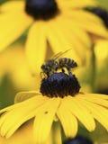 Abeja en una flor de Rudibeckia Foto de archivo libre de regalías