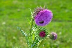 Abeja en una flor de un cardo Imagen de archivo libre de regalías